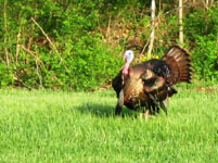 Big gobbler on Paul's land.